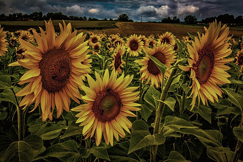 """Sonnenblumen - Extrembearbeitung • <a style=""""font-size:0.8em;"""" href=""""http://www.flickr.com/photos/91404501@N08/27420005142/"""" target=""""_blank"""">View on Flickr</a>"""