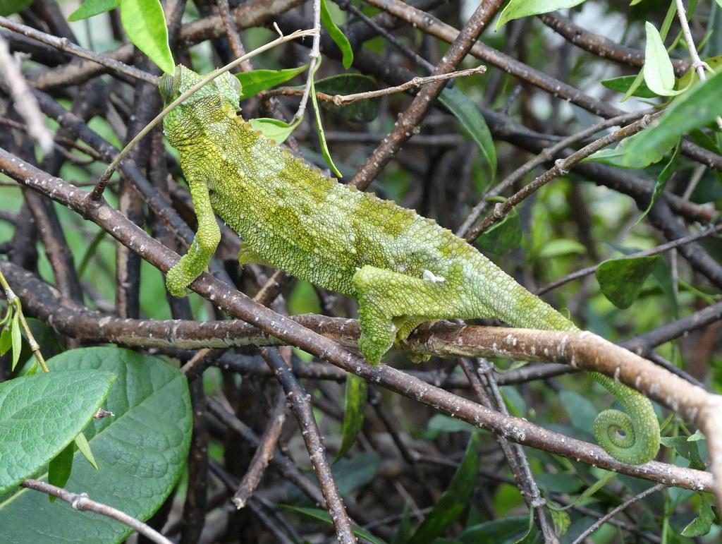 Jackson's chameleon (Trioceros jacksonii by Plant pests and diseases, on Flickr