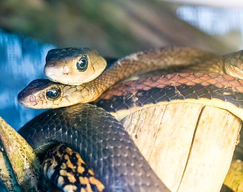 Pair of Mangrove Snakes