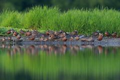 Hudsonian Godwit | hudsonspov | Limosa haemastica