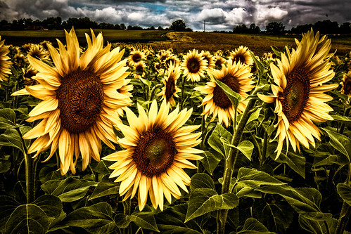 """Sonnenblumen - Extrembearbeitung • <a style=""""font-size:0.8em;"""" href=""""http://www.flickr.com/photos/91404501@N08/27420011402/"""" target=""""_blank"""">View on Flickr</a>"""