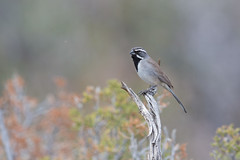 Black-throated Sparrow | svartstrupig sparv | Amphispiza bilineata