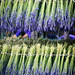 "Drying lavender • <a style=""font-size:0.8em;"" href=""http://www.flickr.com/photos/15533594@N00/28356927572/"" target=""_blank"">View on Flickr</a>"