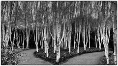 Silver Birches...