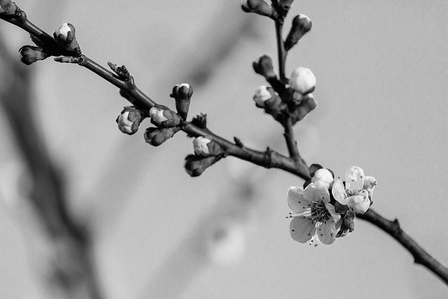colorless cherry blossom