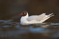 Black-headed Gull | skrattmås | Chroicocephalus ridibundus