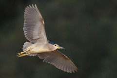 Black-crowned Night Heron | natthäger | Nycticorax nycticorax