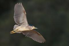 Black-crowned Night Heron | natthäger | Nycticorax nycticorax