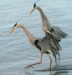 SONY- A9, Great Blue Herons, 1972, 1-6400, f8, ISO 2500, 100-400 @237