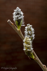 Wilgenkatje (willow catkin