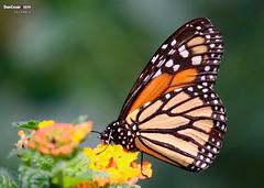 Monarch, Medellin, Colombia