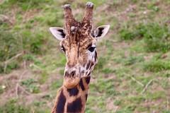 Giraffe - YWP 11.4.19