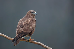 Common Buzzard | ormvråk | Buteo buteo