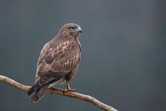 Common Buzzard | ormvråk | Buteo buteo