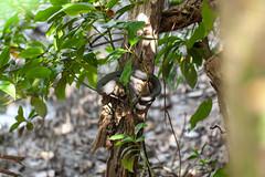 Shore pit viper (Cryptelytrops purpureomaculatus)