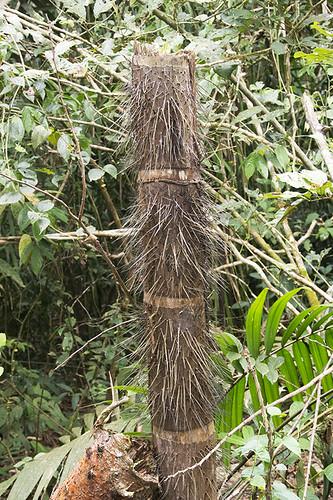 Panama: Spiny Tree