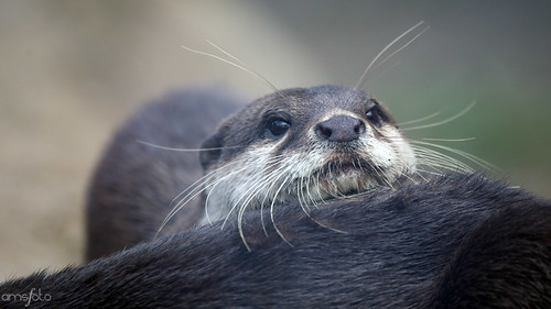closeup of an whiskery otter leaning its little chin on a log.
