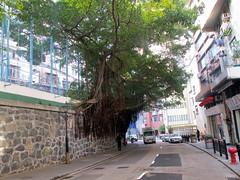Banyan Tree Retaining Wall