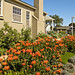 Orange Leucospermum hedge blooming in Sunset Park, Santa Monica.