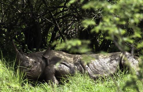 Hook-lipped Rhinoceros