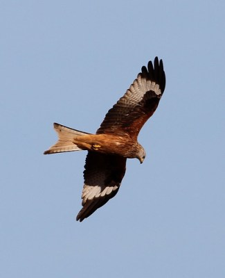 2012_01_18 ER - Red Kite (Milvus milvus) 04