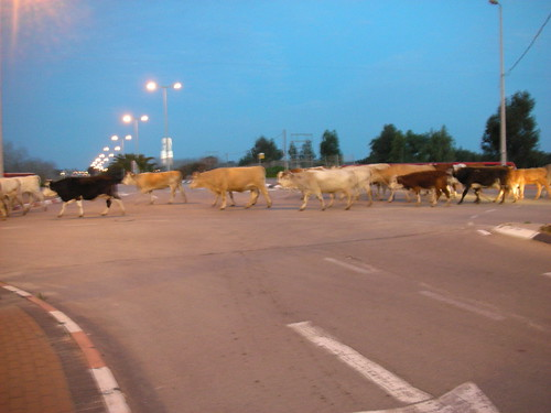 הפרות חוצות את הכביש באור עקיבא