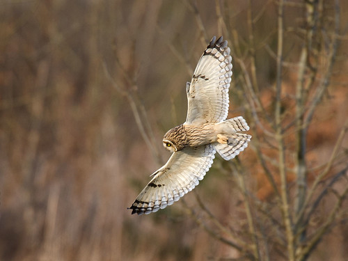 Short-eared Owl_1