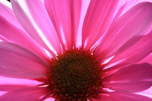 Backlit Pink