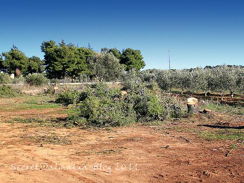 Devatsated pine trees