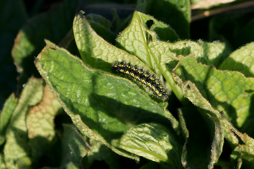 Scarlet tiger moth (Callimorpha dominula) larva