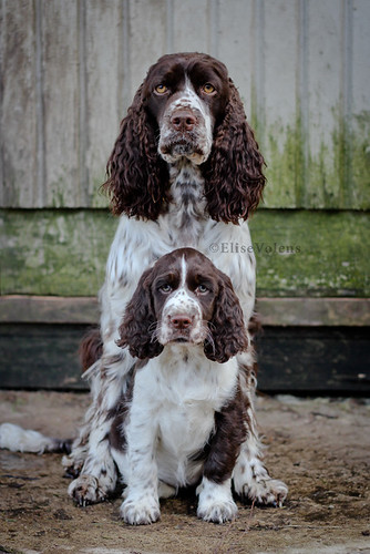 Springer Spaniel Shirts and T Shirts. Springer Spaniel Dogs Copyright Owner Elise Volens