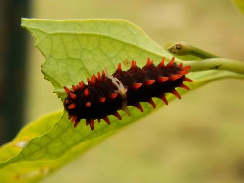 Common Rose Butterfly's Catterpiller by Prasik
