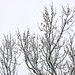 Sycamore Branches, February 04, 2012