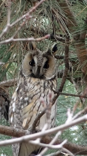Long-eared Owl (Asio otus) by bill kralovec