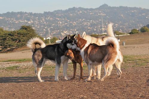 Husky huddle