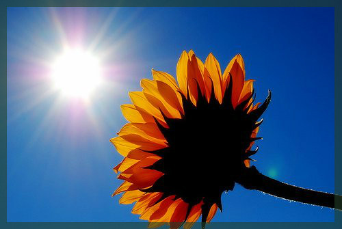 Sun-Flower by swedinbalchik