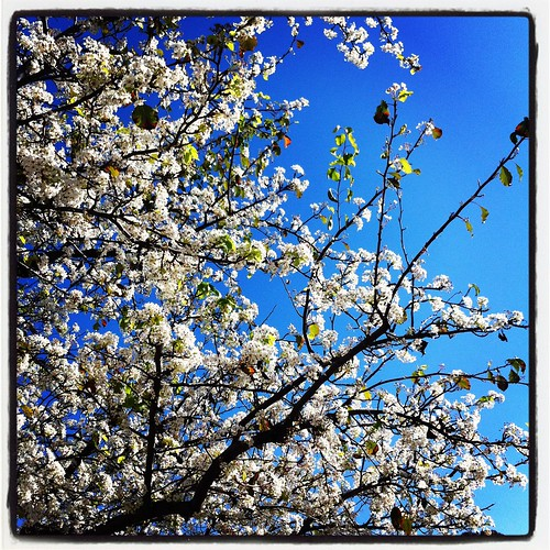 Happy Thing: Trees Covered in White Blossoms