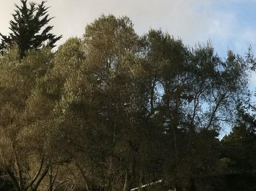 Olive trees? Dog park
