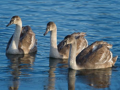 Three Mute Swan signets