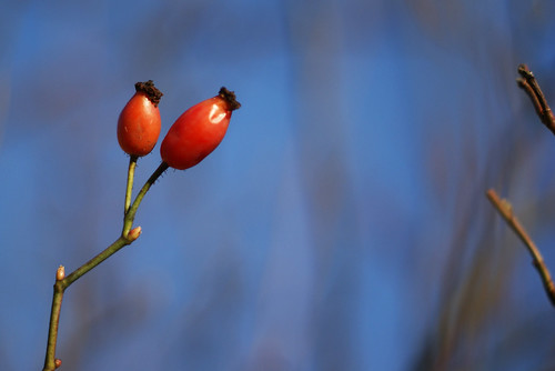 12/366: Rosehips by MeltedMoments