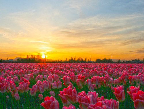 Pink Tulips at Sunset, Skagit Valley Tulip Festival by i8seattle