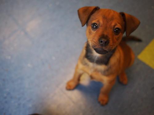 lab/shepherd/pointer mix puppies