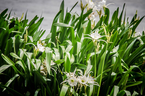 Lansford Canal Spider Lilies-36