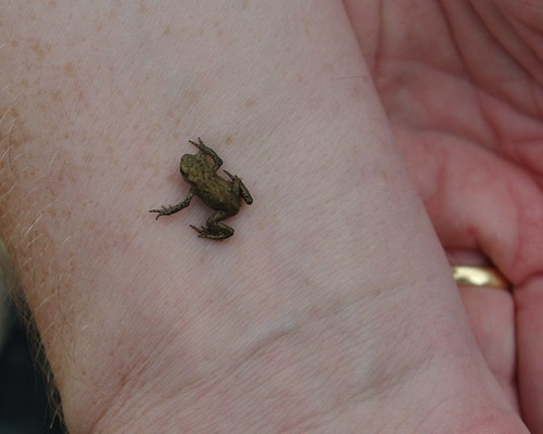 20110625-04_Froglet at Ryton Pools by gary.hadden