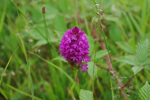 20110625-09_Pyramidal Orchid - Ryton Pools by gary.hadden