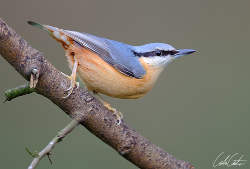 Nuthatch by TheApertureMan