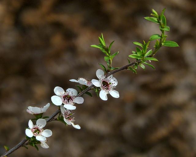 Manuka or Tea Tree