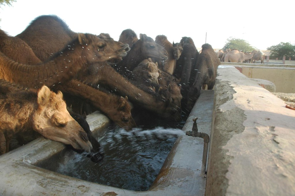 Also the deprived will understand the preciousness...Camel farm, Bikaner, Rajasthan, India