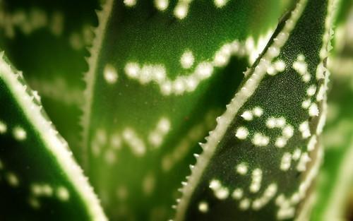 Aloe by MarcoAlici