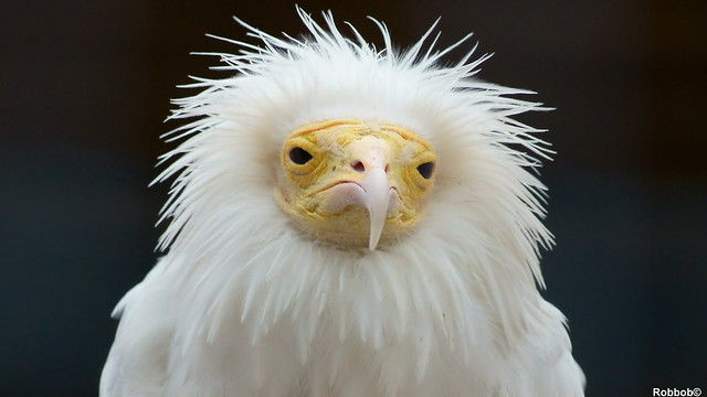 Bad Hair Day....Egyptian Vulture